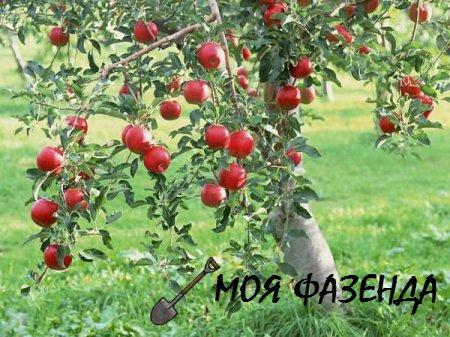 Зачем и когда обрезают фруктовые деревья
