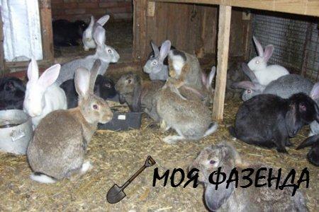 Особенности разных пород кроликов