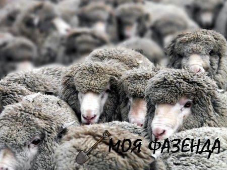 Причины возникновения ценуроза у овец и методы борьбы с заболеванием