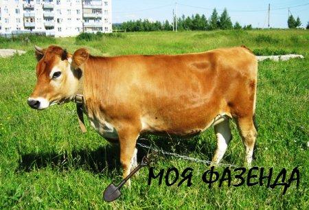 Джерсейские коровы - молочные королевы