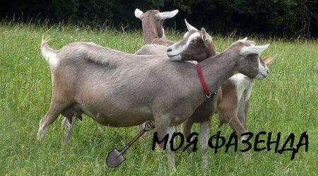 Важные моменты разведения и содержания коз альпийской породы