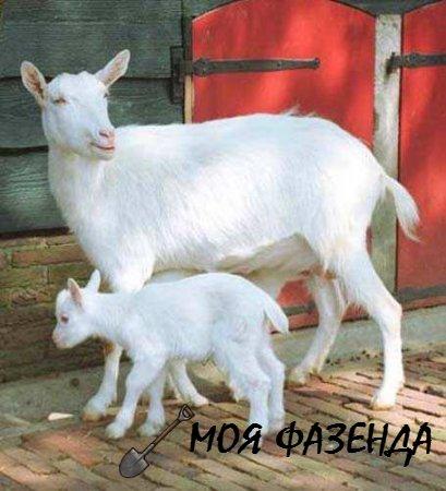 Помощь козе при окоте и после него