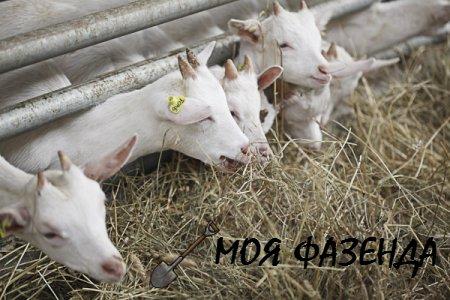 Рацион для коз и козлят в разные времена года