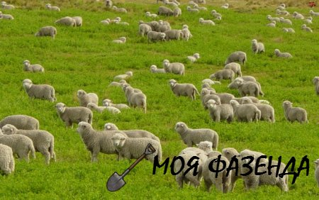 Все что стоит знать фермеру о разведении овец