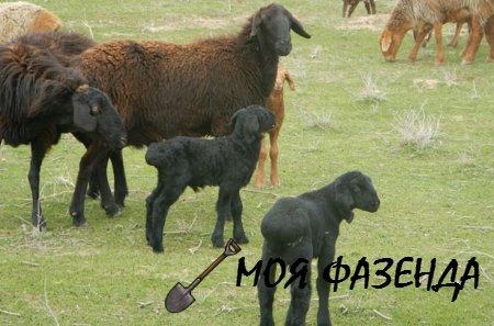 Все что стоит знать фермеру об овцах гиссарской породы