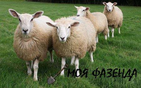 Особенности содержания и выращивания овец в домашних условиях