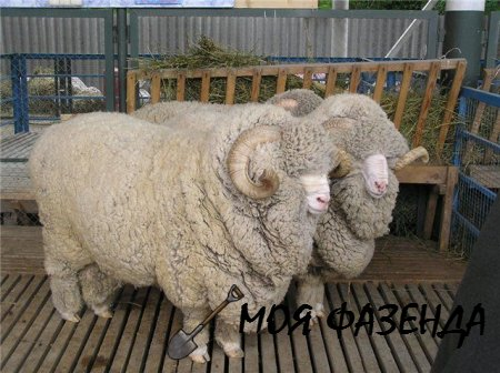 Характеристика пород овец мясного направления