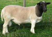 Особенности содержания и разведения овец породы дорпер