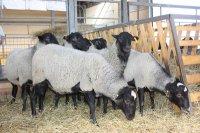 Преимущества и недостатки разведения романовских овец